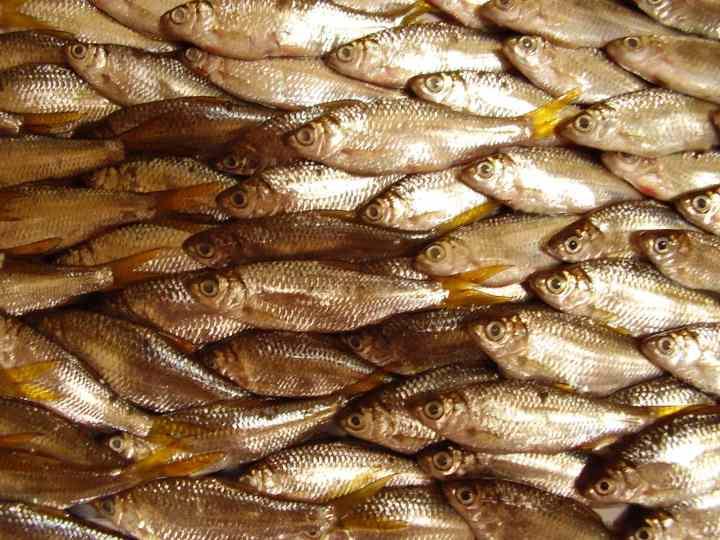 Ikan Bilih